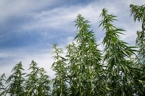 A handful of tall industrial hemp plants grows against a partially cloudy sky.