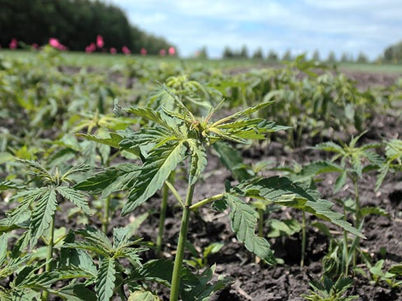 A young industrial hemp plant is seen in focus against a blurred background of fellow sprouts.