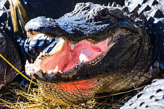 A freshwater Florida alligator sits in the sun with its mouth wide open.